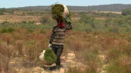 Harvesting rooibos tea plants