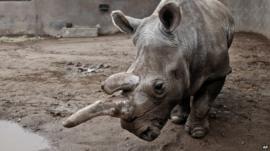 Nola the white rhinoceros in her enclosure at San Diego Zoo Safari Park