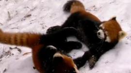 Red pandas cubs