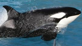 A killer whale performs at SeaWorld