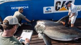 Tagging a shark for monitoring