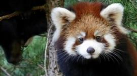 Red pandas check out their new home