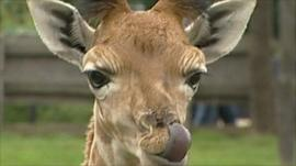 Kaiser the Rothschild Giraffe