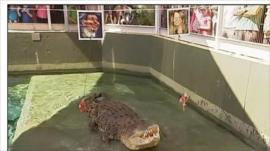 Crocodile about to eat chicken meat