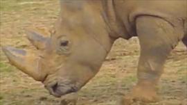 White rhino Simba