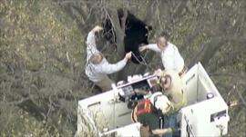 Firefighters attempt to bring down the bear