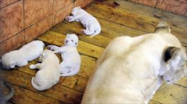 White lion cubs born in Belgrade.