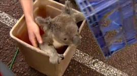 Koala found in plastic bin