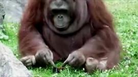 Orangutan and coot chick