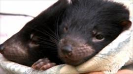 Baby Tasmanian devil