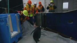 'Happy Feet' being helped back into the water