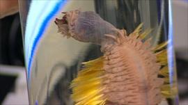 A deep sea 'worm'