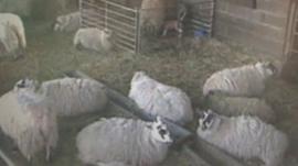 Sheep in lambing shed