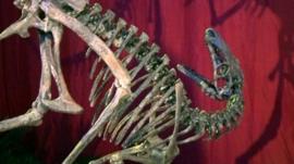 New species of dinosaur on display