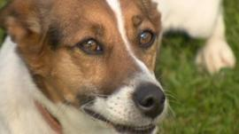 Patch, a Jack Russell terrier