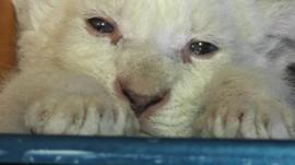 Albino lion cub