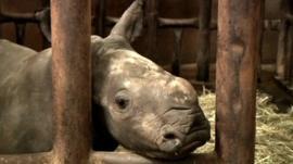 Vince the rhino