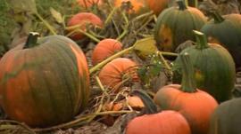 Pumpkins at Broadditch Farm near Dartford