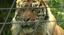 Jae Jae the Sumatran tiger