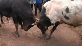 Bulls lock horns in Kenya
