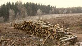 Forest of Dean: Larch trees felled