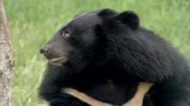 A bear in Vietnam Bear Rescue Centre - footage courtesy Wild Productions Ltd