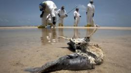 Decomposed fish lying in the water as workers pick up oil from Deepwater Horizon oil spill