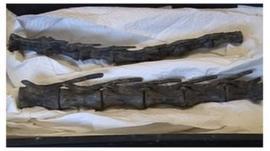 Valdosaurus bones