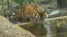 New tiger enclosure at London Zoo