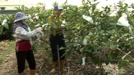 Guava farm