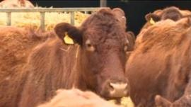 Cattle in Lincolnshire