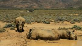 Some rhinos in South Africa with a safari vehicle in the background