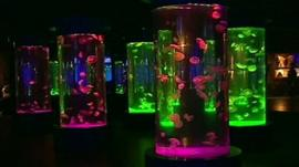Jellyfish in tanks