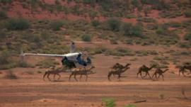 A camel herd being rounded up by a helicopter.