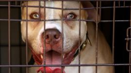 A pit-bull behind a cage