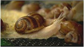 Snails produced in Colombian farm