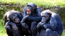 Three chimpanzees