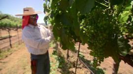 Man picks grapes in vineyard