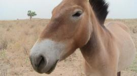 Przewalski horses were once extinct