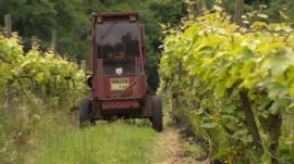 Grape harvest in East Sussex