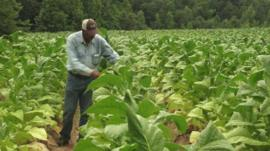 Man in tobacco fields