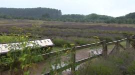 Lavender crop