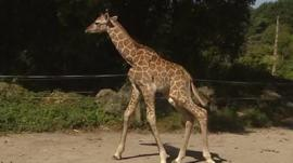 Rothschild's giraffe calf at Paignton Zoo