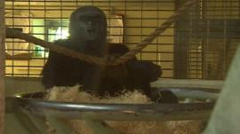 A gorilla at Bristol Zoo