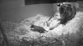 Sumatran tiger Melati gave birth to London's first tiger cub for 17 years