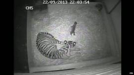 CCTV showing the birth of the Sumatran tiger cub