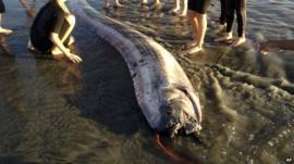 An oarfish