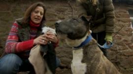 Staffordshire bull terrier Bulley