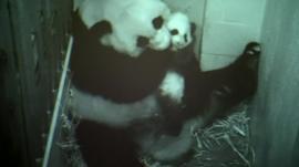Bao Bao and her mother Mei Xiang on the zoo's panda cam
