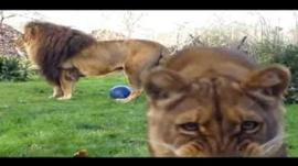 Lions at Linton Zoo